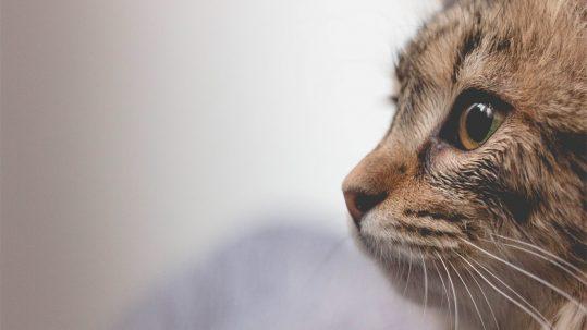 Waar moet je op letten CBD olie voor katten
